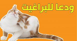 علاج براغيث القطط , الحشرات التي تصيب القطط و كيفية التخلص منها