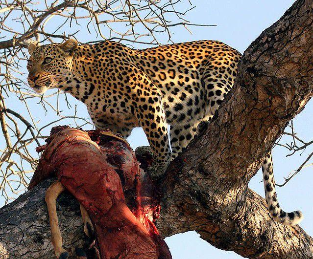 صورة معلومات عن النمر العربي , ماذا تعرف عن النمر العربى