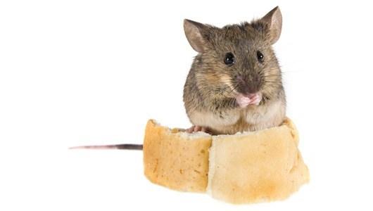 صورة كيفية التخلص من الفئران في المنزل , خطوات التخلص من الفار في المنزل