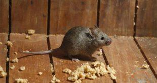 كيفية التخلص من الفئران في المنزل , خطوات التخلص من الفار في المنزل