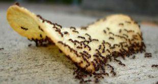 بالصور وجود النمل في المنزل , طرق التخلص من النمل