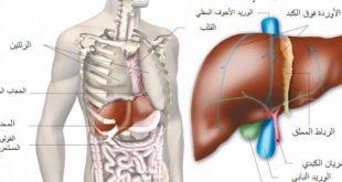 فوائد الكبد في جسم الانسان , اهمية الكبد في جسم الانسان
