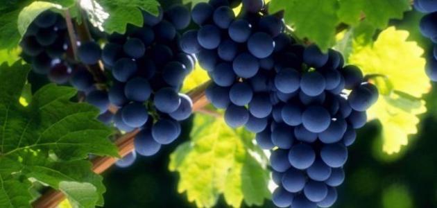 صورة فوائد واضرار العنب , معلومات عن العنب فوائده واضراره 883