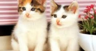 رؤية القطط الصغيرة في المنام , ماذا تعنى صغار القطط فى الحلم
