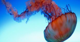 بالصور حيوان بحري من الرخويات , حقائق غريبة عن قنديل البحر
