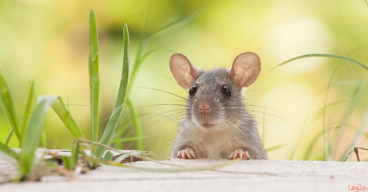 صورة تفسير رؤية الفئران في الحلم , معانى ودلالات رؤية الفار فى المنام 2021 1