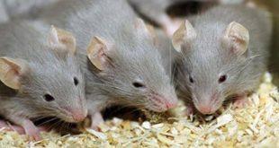 بالصور تفسير رؤية الفئران في الحلم , معانى ودلالات رؤية الفار فى المنام