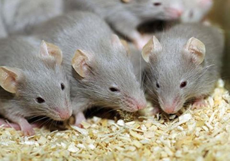 صورة تفسير رؤية الفئران في الحلم , معانى ودلالات رؤية الفار فى المنام 2021