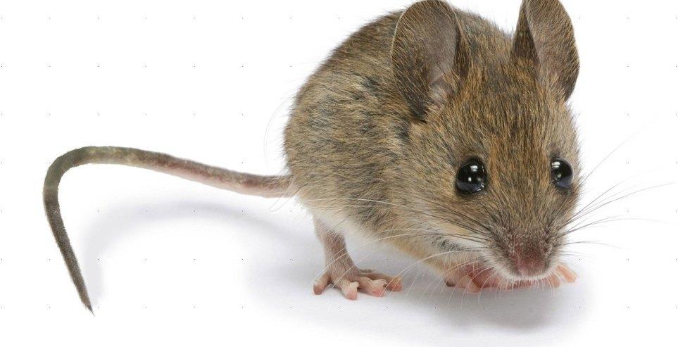 صورة طريقة التخلص من الفئران , كيفية طرد الفئران من المنزل