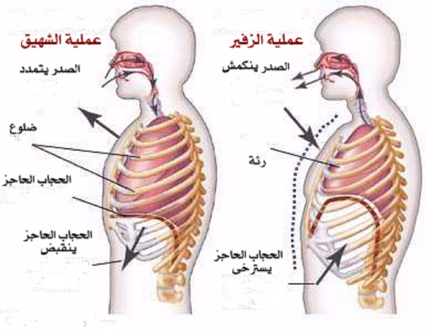 صورة عملية الشهيق والزفير , كيف تتم عملية التنفس