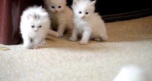 صور قطط جميلة وصغيرة , من افضل الحيوانات تصلح للاستاناس