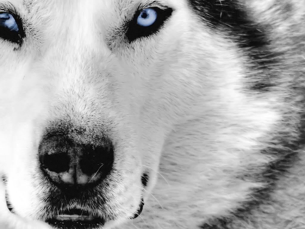 صورة اجمل صور الذئاب , صور لحيوان الذئب