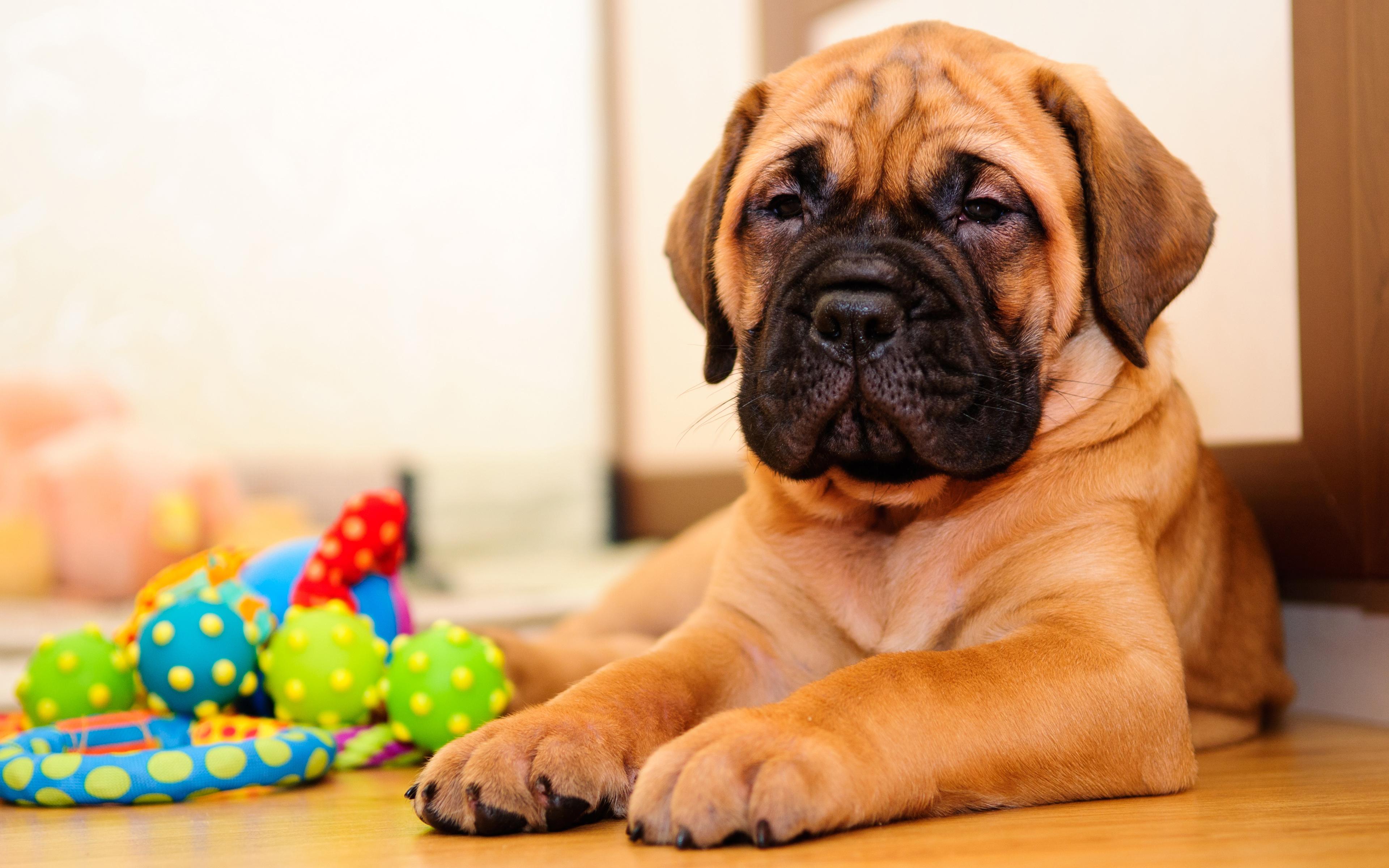 صورة صور كلاب بول مستيف , صور لاقوى كلاب بول مستيف