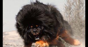 صور صور كلاب بول مستيف , صور لاقوى كلاب بول مستيف