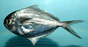 صورة صورة سمك الزبيدي , صور اشكال سمك الزييدى