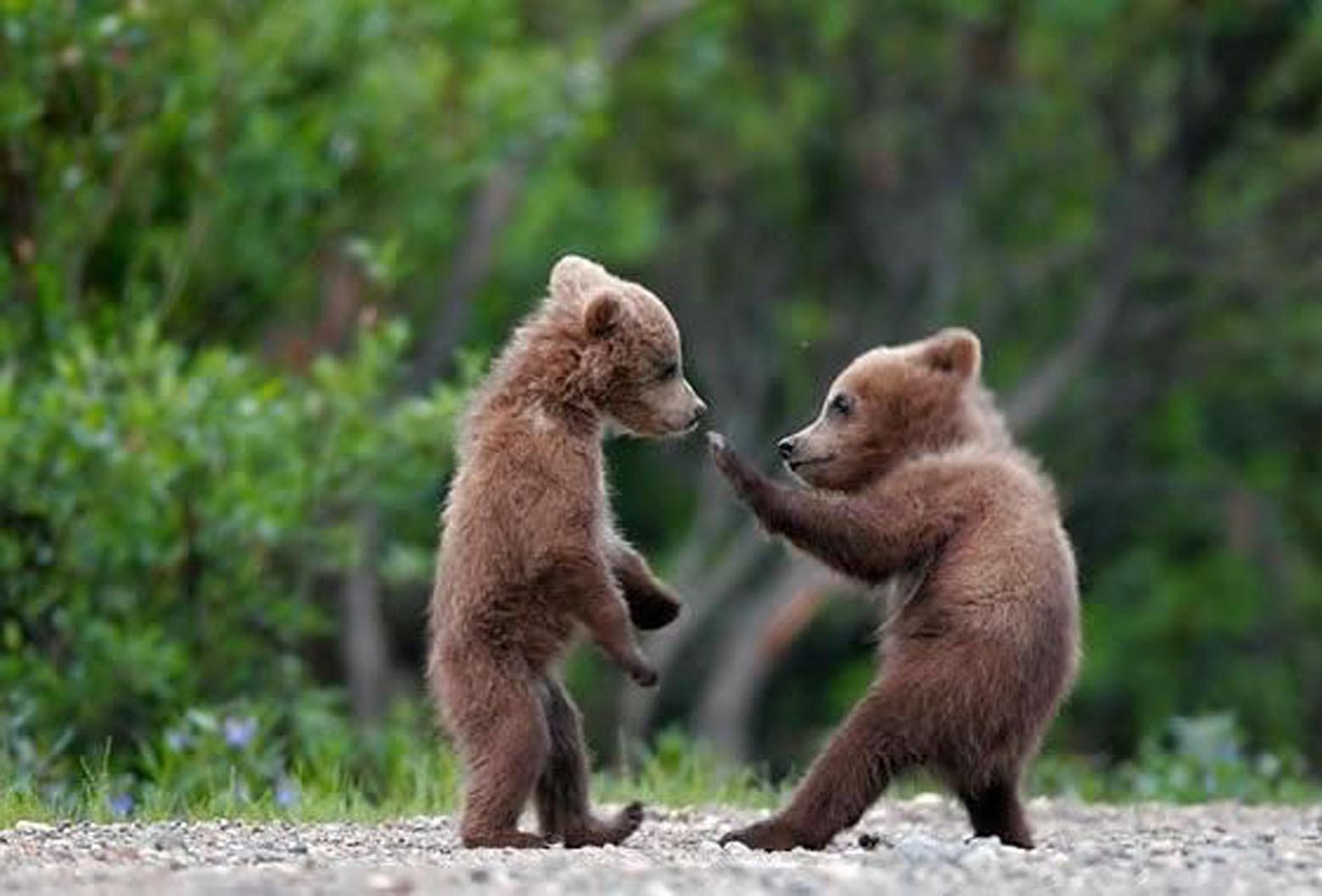 صورة صغير الدب اسمه , الحيوان المعرض للانقراض