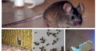 صورة سبب وجود الفئران في البيت , مخاطر بالغة للفئران تعرف عليها