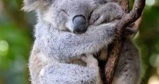 صورة معلومات عن حيوان الكوالا , تعرف معلومات عنه ولكن احذر التعامل معه